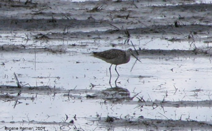 IMG 2004-Jun16 at north of Ste.Anne:  Marbled godwit (Limosa fedoa)