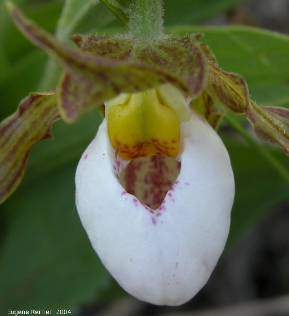 IMG 2004-Jun16 at Kleefeld:  Small white ladyslipper (Cypripedium candidum) closeup from above