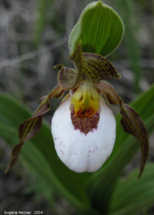 IMG 2004-Jun16 at Kleefeld:  Hybrid small white X large yellow ladyslipper (Cypripedium X andrewsii nm favillianum) flower