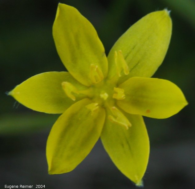 IMG 2004-Jun22 at Tolstoi TGPP:  Yellow stargrass (Hypoxis hirsuta) in shade