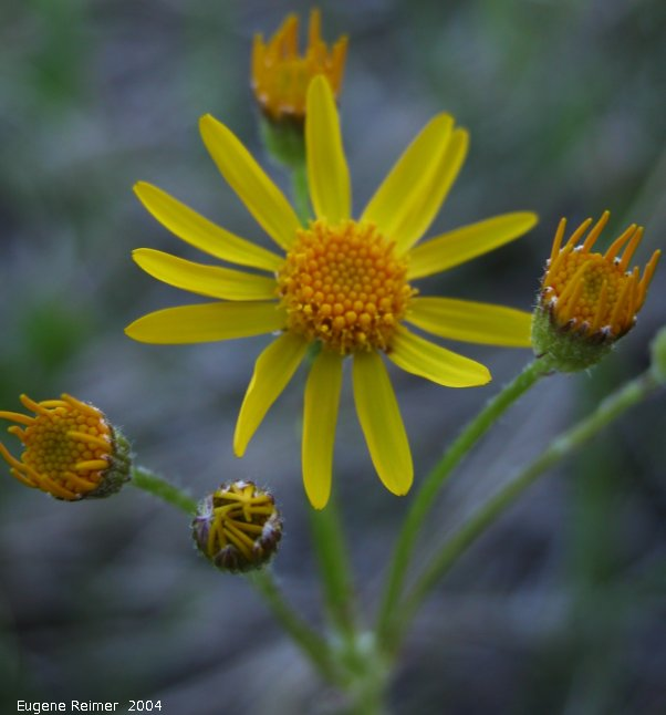 IMG 2004-Jun22 at Tolstoi TGPP:  Ragwort (Senecio sp)?
