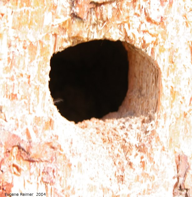 IMG 2004-Jul01 at near Contour:  Black-backed woodpecker (Picoides arcticus) nest
