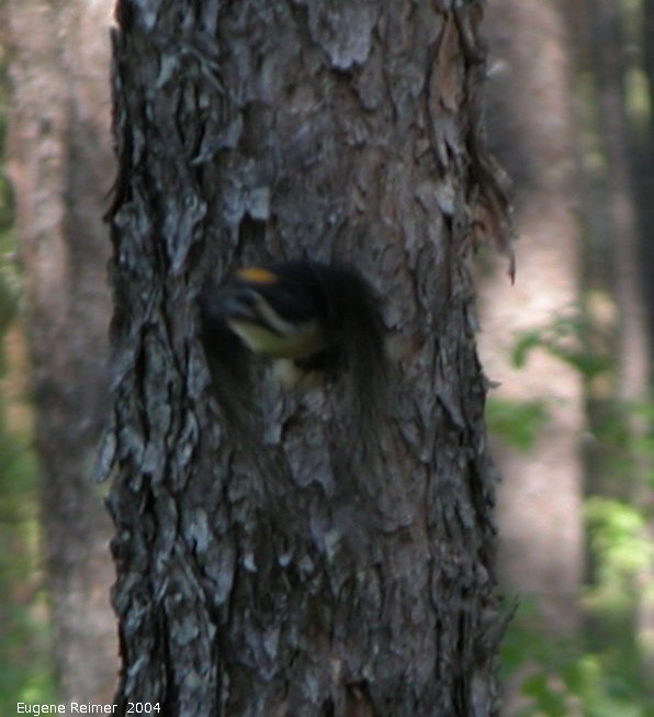 IMG 2004-Jul01 at near Contour:  Black-backed woodpecker (Picoides arcticus) male in flight (blurry)