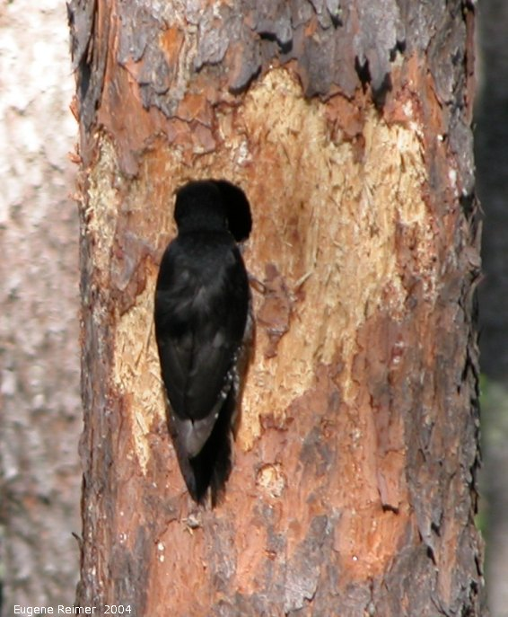 IMG 2004-Jul01 at near Contour:  Black-backed woodpecker (Picoides arcticus)