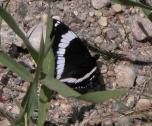 2004-Jul07 at SpruceSidingRd:  White admiral butterfly (Limenitis arthemis)