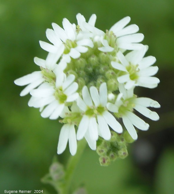 IMG 2004-Jul07 at Bog east of PR308:  Hoary alyssum (Berteroa incana) flowers