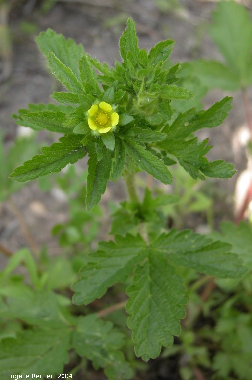 IMG 2004-Jul07 at Bog east of PR308:  Rough cinquefoil (Potentilla norvegica)