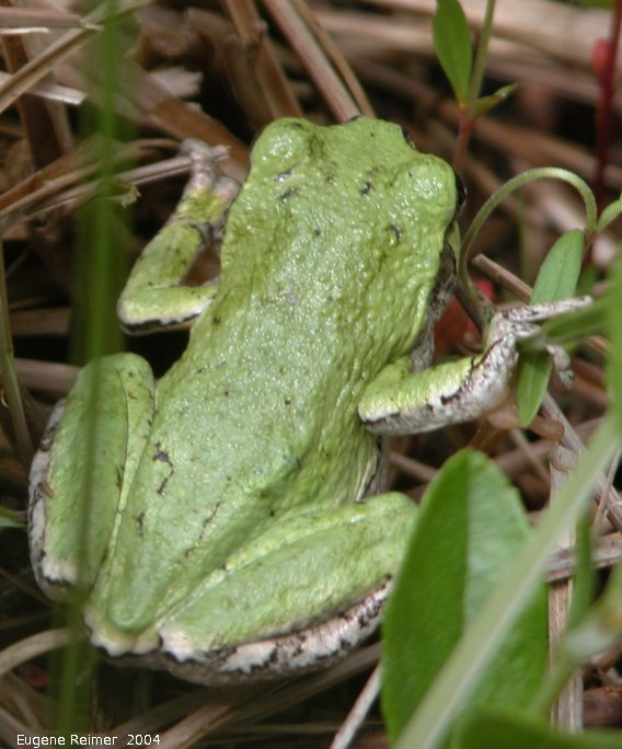 IMG 2004-Jul07 at Bog east of PR308:  Copes tree-frog (Hyla chrysoscelis)