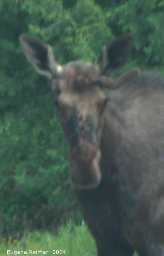 IMG 2004-Jul07 at PR308:  Moose (Alces alces) on PR308 note the horseflies