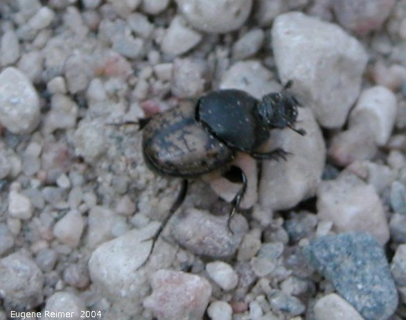 IMG 2004-Jul07 at ForestryRd#4:  Scooped scarab dung-beetle (Onthophagus hecate)