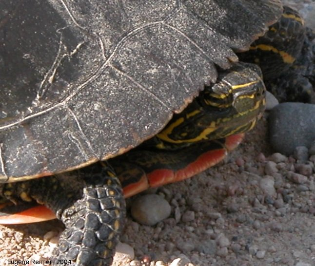 IMG 2004-Jul07 at ForestryRd#4:  Painted turtle (Chrysemys picta)