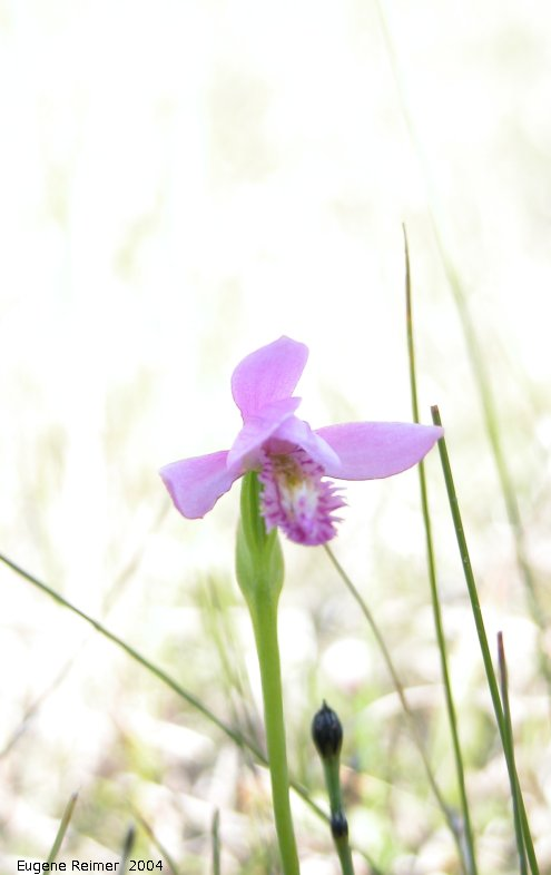 IMG 2004-Jul10 at PTH15 east of Anola:  Rose pogonia (Pogonia ophioglossoides)