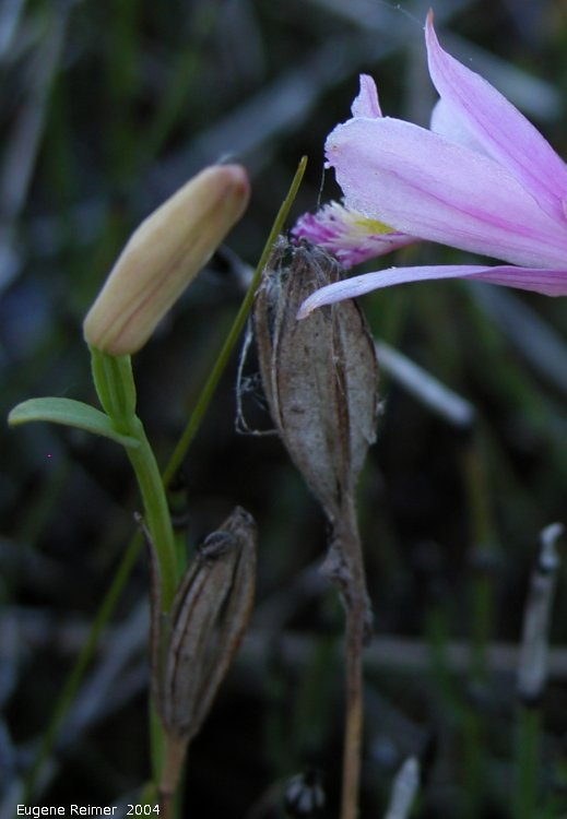 IMG 2004-Jul10 at PTH15 east of Anola:  Rose pogonia (Pogonia ophioglossoides) bud+pods