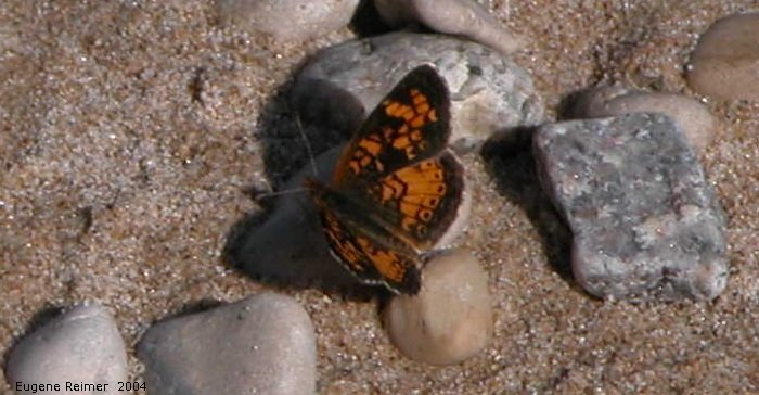 IMG 2004-Jul13 at LongPoint:  Pearl-crescent butterfly (Phyciodes tharos)
