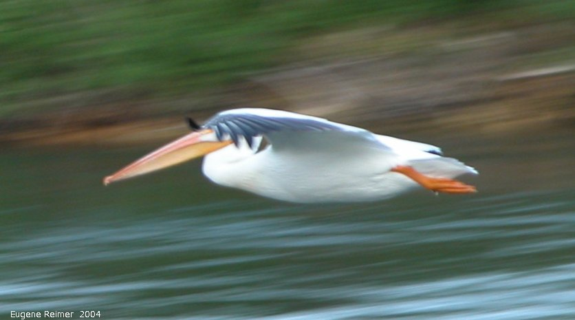 IMG 2004-Jul13 at GrandRapids-dam:  White pelican (Pelecanus erythrorhynchos) in flight nearby