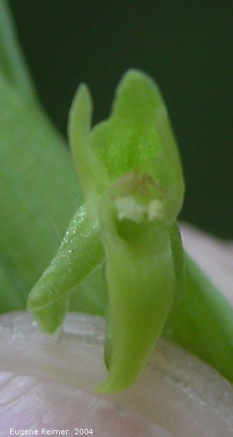 IMG 2004-Jul14 at HargraveRiver:  Northern green bog-orchid (Platanthera aquilonis) closeup