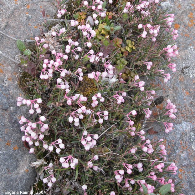 IMG 2004-Jul15 at CapeMerry:  Bog rosemary (Andromeda polifolia)