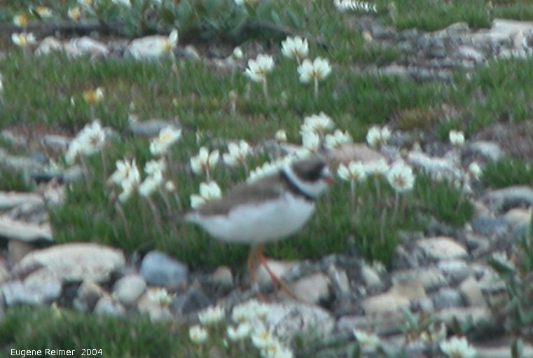 IMG 2004-Jul15 at Bird-Cove:  Semi-palmated plover (Charadrius semipalmatus) bad photo