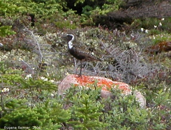 IMG 2004-Jul16 at TwinLakesRd:  Golden plover (Pluvialis dominica)