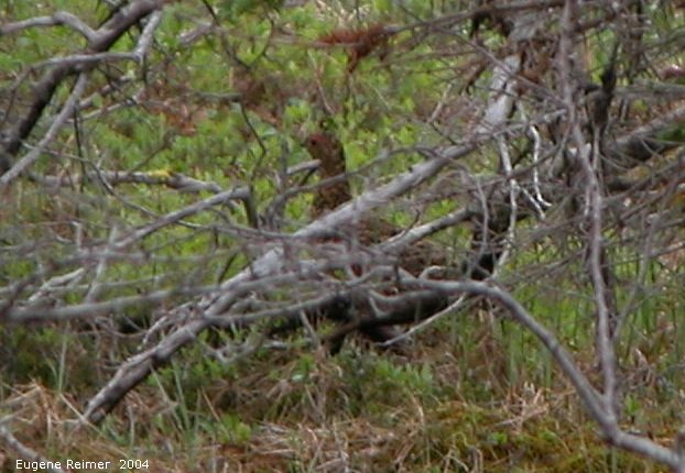 IMG 2004-Jul16 at TwinLakesRd:  Willow-ptarmigan (Lagopus lagopus)