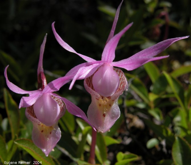 IMG 2004-Jul16 at hike near EastTwinLake:  Fairy-slipper (Calypso bulbosa var americana) pair in sunlight