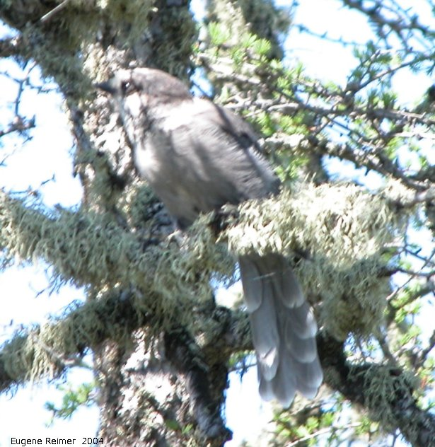 IMG 2004-Jul16 at WestTwinLake:  Grey jay=Whiskeyjack (Perisoreus canadensis)