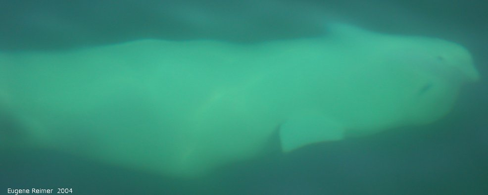 IMG 2004-Jul16 at the Wales & Whales Tour (FortPrinceOfWales+Beluga whaleWhales):  Beluga whale (Delphinapterus leucas) underwater