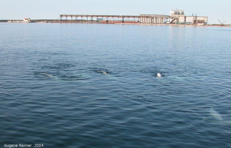 IMG 2004-Jul16 at the Wales & Whales Tour (FortPrinceOfWales+Beluga whaleWhales):  Beluga whale (Delphinapterus leucas) and Churchill Grain Terminal from the bay