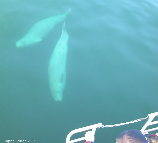 IMG 2004-Jul16 at the Wales & Whales Tour (FortPrinceOfWales+Beluga whaleWhales):  Beluga whale (Delphinapterus leucas) several underwater