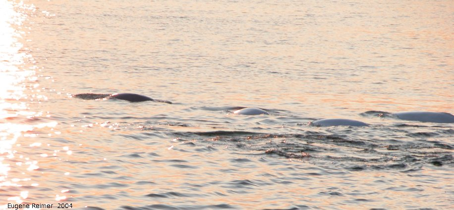 IMG 2004-Jul16 at the Wales & Whales Tour (FortPrinceOfWales+Beluga whaleWhales):  Beluga whale (Delphinapterus leucas) under setting sun