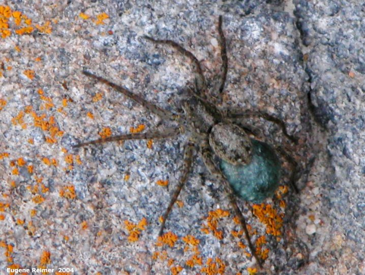 IMG 2004-Jul17 at town of Churchill:  Common dock spider (Dolomedes sp) with blue egg-sac brighter