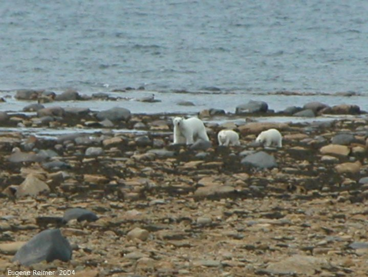 IMG 2004-Jul17 at CoastRd and side-roads:  Polar bear (Ursus maritimus) with 2 cubs on shore