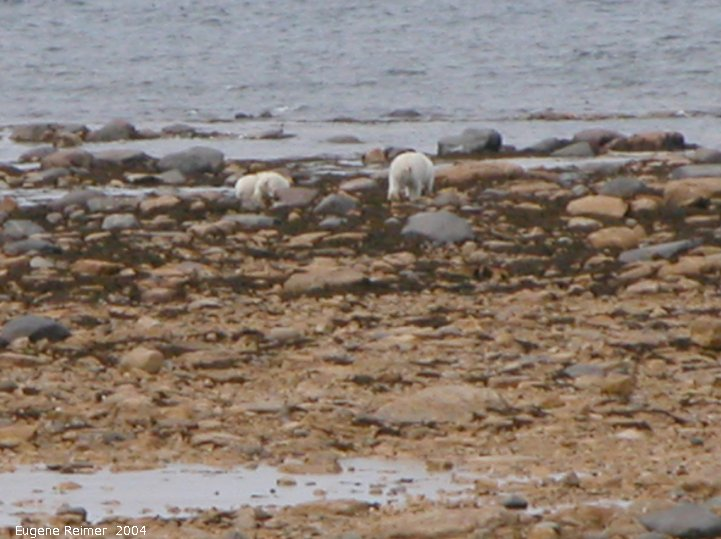IMG 2004-Jul17 at CoastRd and side-roads:  Polar bear (Ursus maritimus) with 2 cubs on shore backsides