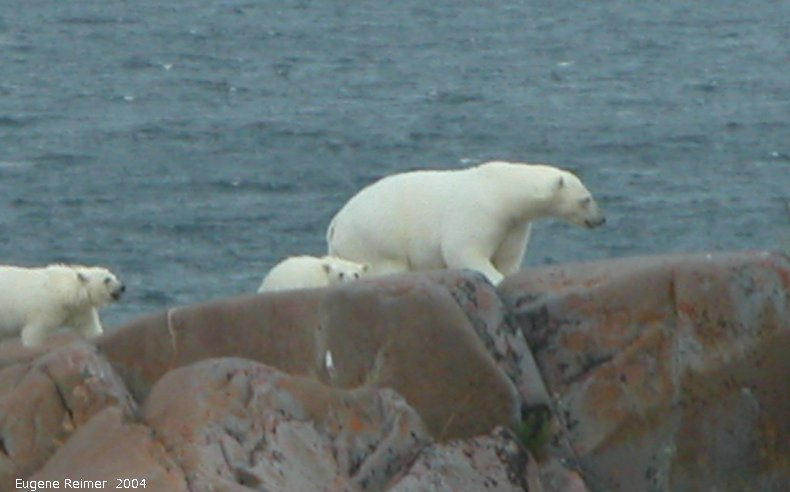 IMG 2004-Jul17 at CoastRd and side-roads:  Polar bear (Ursus maritimus) with 2 cubs on the rocks