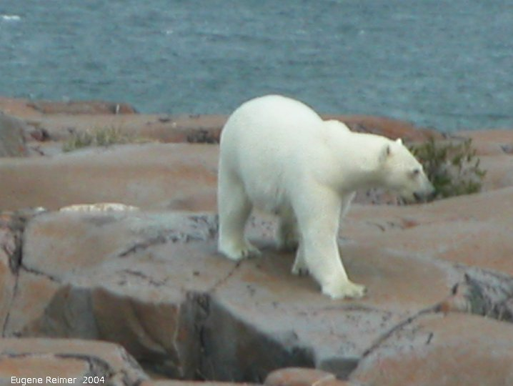 IMG 2004-Jul17 at CoastRd and side-roads:  Polar bear (Ursus maritimus) on the rocks
