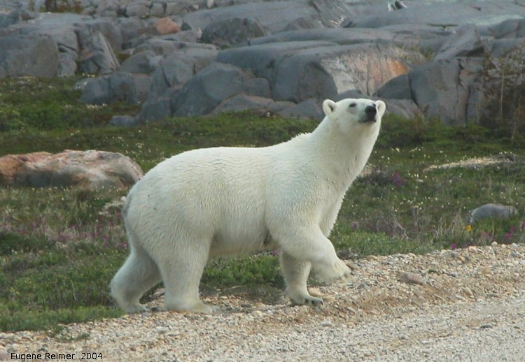 IMG 2004-Jul17 at CoastRd and side-roads:  Polar bear (Ursus maritimus) on road sniffing closer