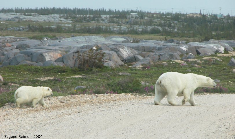 IMG 2004-Jul17 at CoastRd and side-roads:  Polar bear (Ursus maritimus) and cub crossing the road