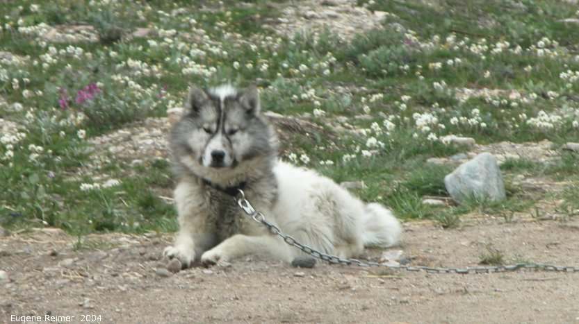 IMG 2004-Jul17 at CoastRd and side-roads:  Dog (Canis lupus familiaris) sled-dog in dog-city