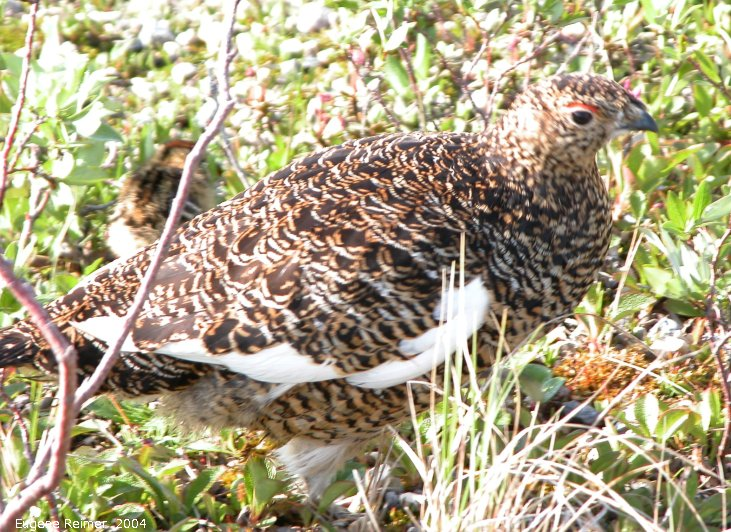 IMG 2004-Jul19 at CNSC and vicinity:  Willow-ptarmigan (Lagopus lagopus) female
