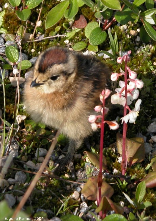IMG 2004-Jul19 at CNSC and vicinity:  Willow-ptarmigan (Lagopus lagopus) chick