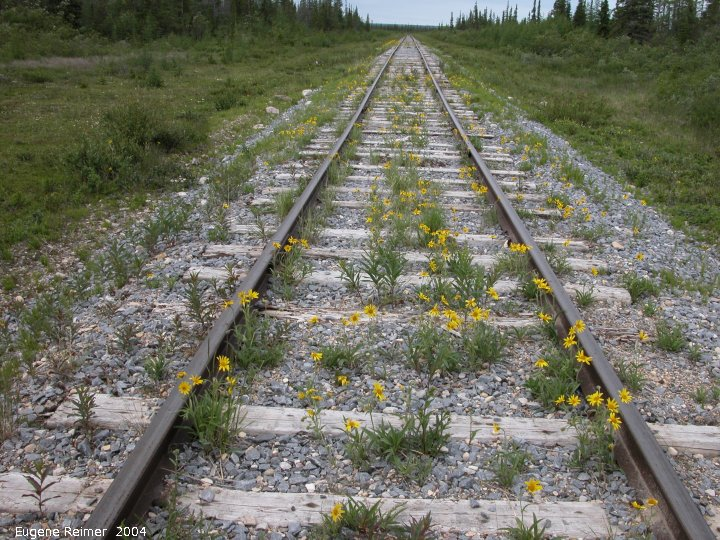IMG 2004-Jul20 at near GooseCreek:  Alpine arnica (Arnica angustifolia) along railroad-tracks wide-angle view makes rails appear straight