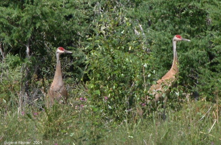 IMG 2004-Jul21 at near that gravel-pit:  Sandhill crane (Grus canadensis) pair doing a line-dance