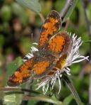 2004-Jul22 at north of Gypsumville:  Pearl-crescent butterfly (Phyciodes tharos) on Fleabane (Erigeron sp)