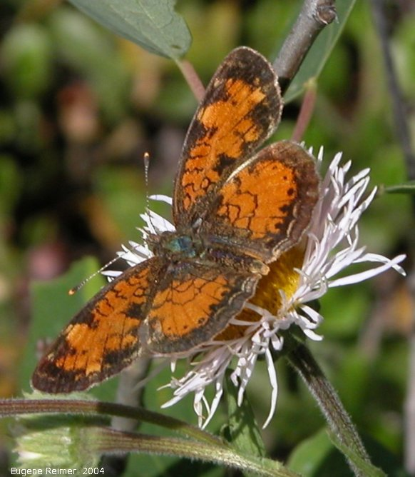 IMG 2004-Jul22 at north of Gypsumville:  Pearl-crescent butterfly (Phyciodes tharos) on Fleabane (Erigeron sp)