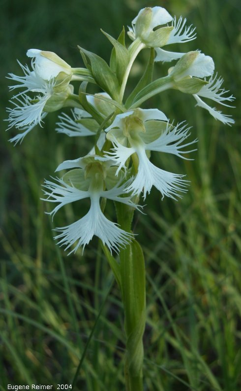 IMG 2004-Jul23 at AgassizTrail near Tolstoi:  Western prairie fringed-orchid (Platanthera praeclara) plant