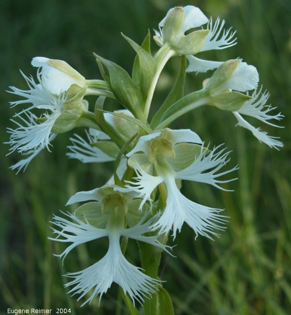 IMG 2004-Jul23 at AgassizTrail near Tolstoi:  Western prairie fringed-orchid (Platanthera praeclara)