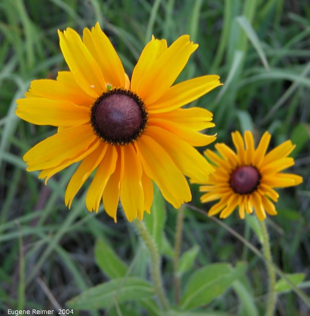 IMG 2004-Jul23 at AgassizTrail near Tolstoi:  Black-eyed susan (Rudbeckia hirta)