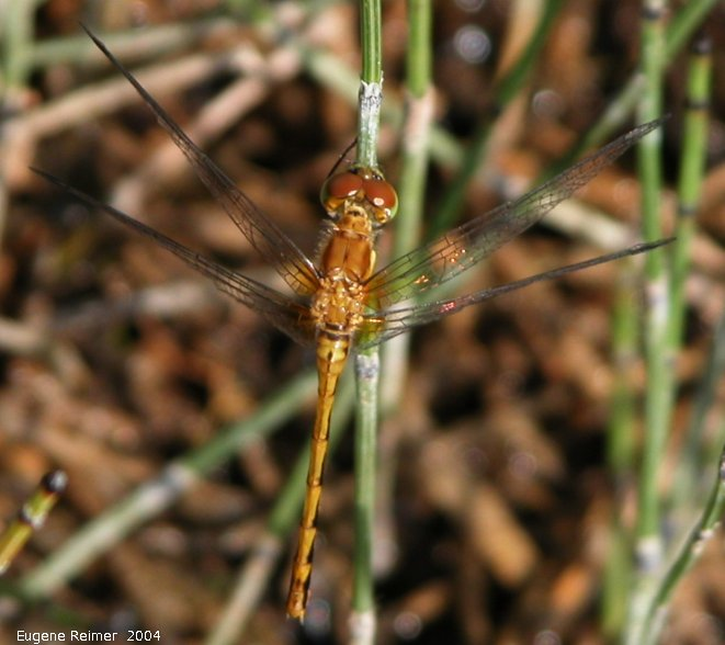 IMG 2004-Aug17 at PTH15 east of Anola:  Gold spreadwing damselfly (Lestes sp)