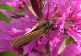 2004-Aug17 at PTH15 east of Anola:  Skipper (Hesperiidae sp) on Purple loosestrife (Lythrum salicaria)