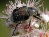 2004-Aug17 at near LewisBog:  Bee-mimic flower-beetle (Trichiotinus assimilis) on Meadowsweet (Spiraea alba)